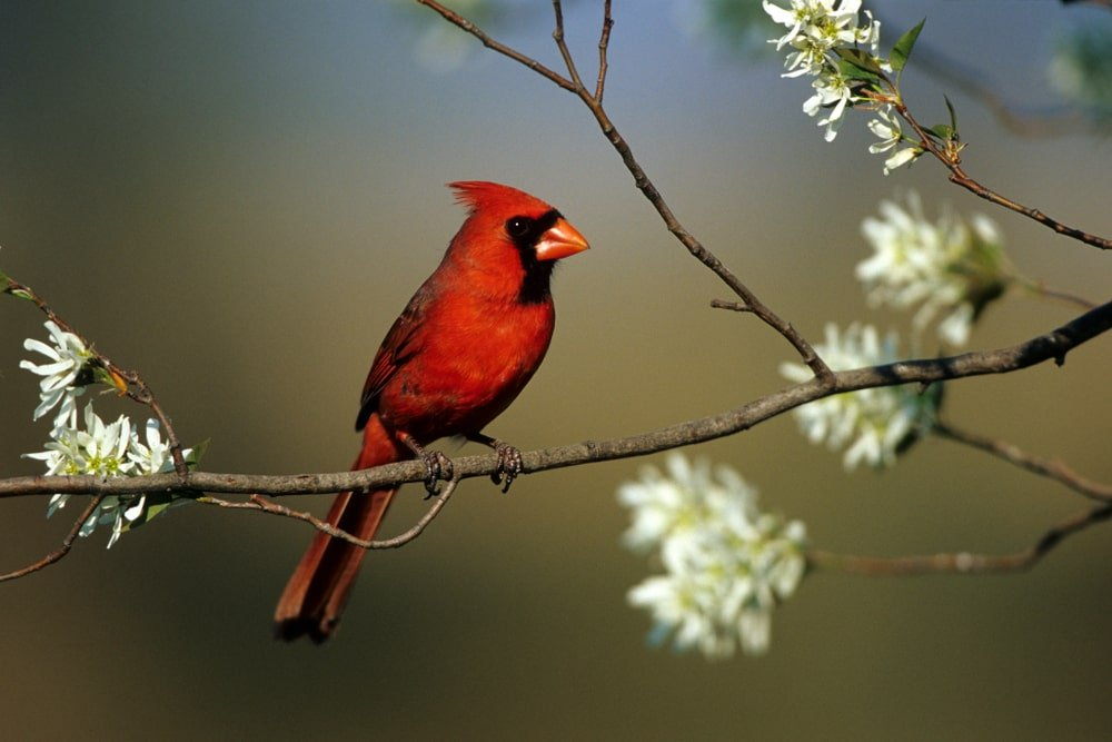 This is a close look at a red cardinal bird on a serviceberry tree branch.