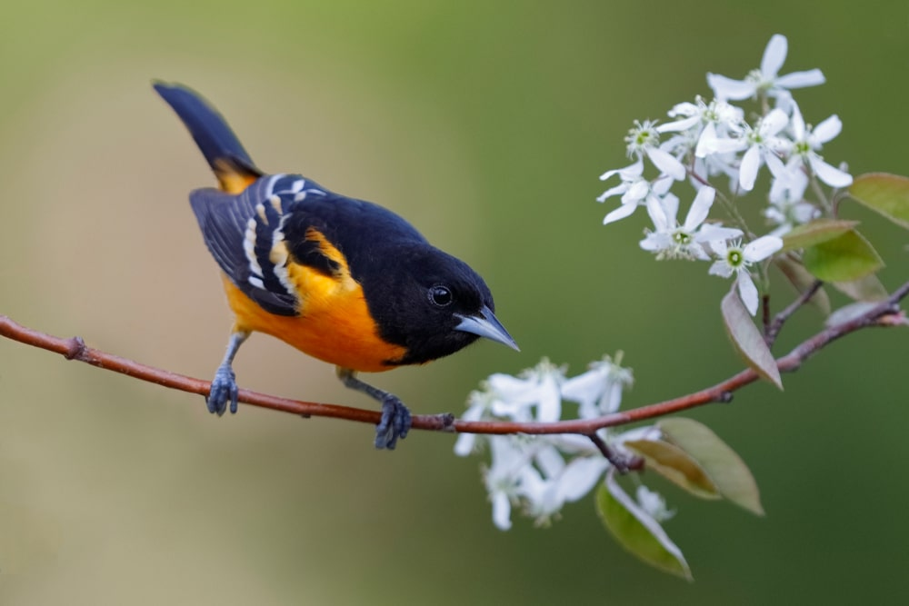 This is a close look at a Baltimore Oriole bird on a serviceberry tree branch.