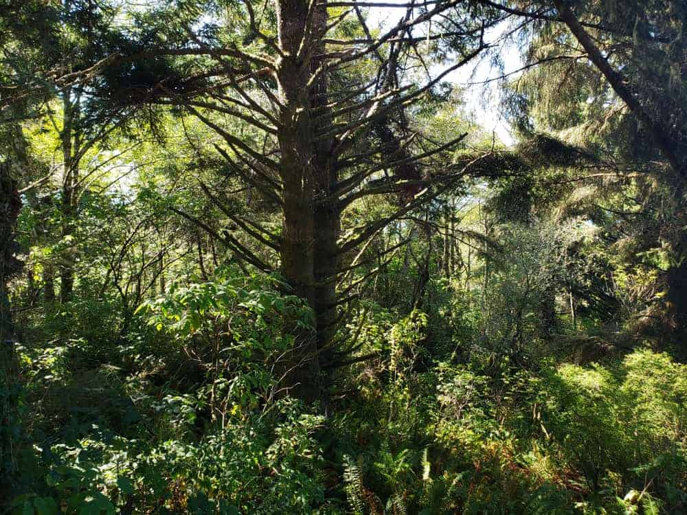 This is a close look at a dense forest of tanoak trees and shrubs.