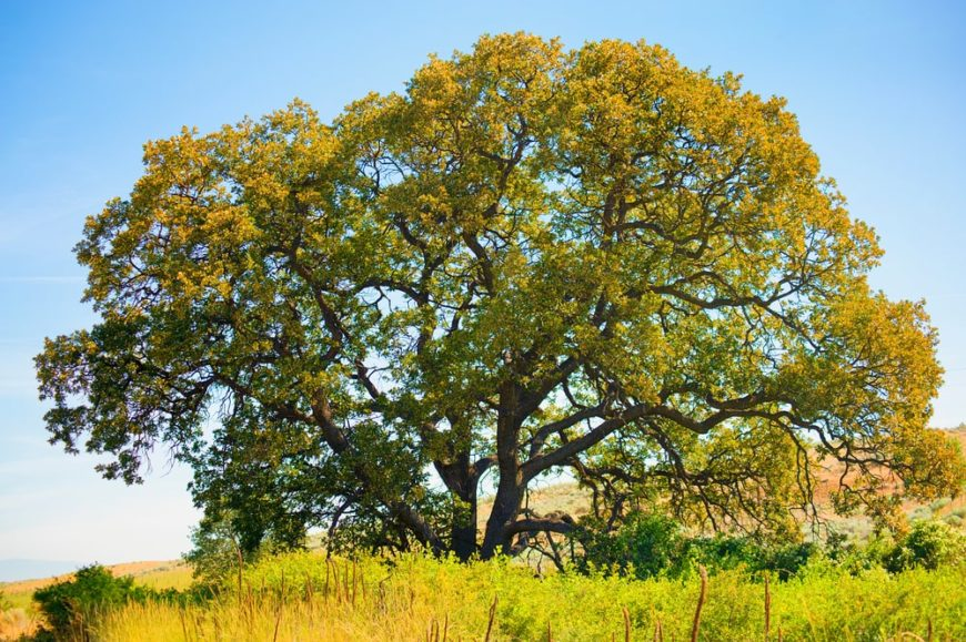 A large white oak tree in a field of grass.