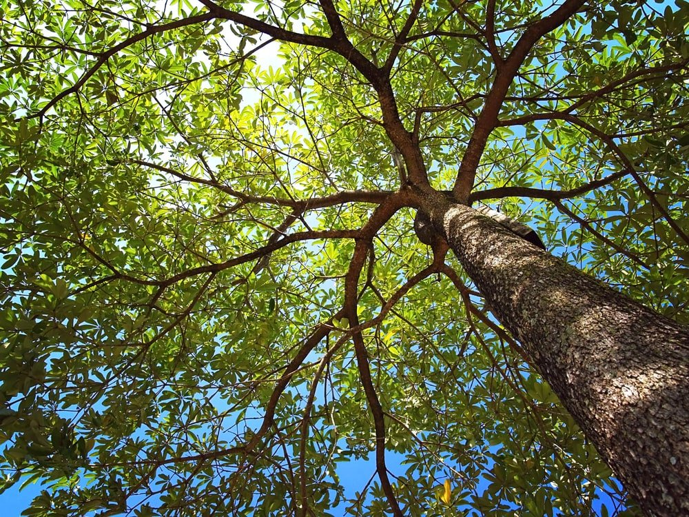 This is a close look at a mature white oak tree.