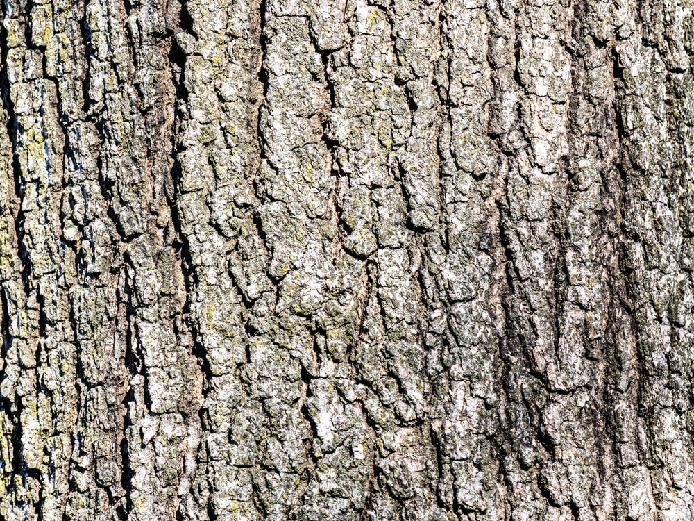 This is a close look at the bark of a white oak tree.
