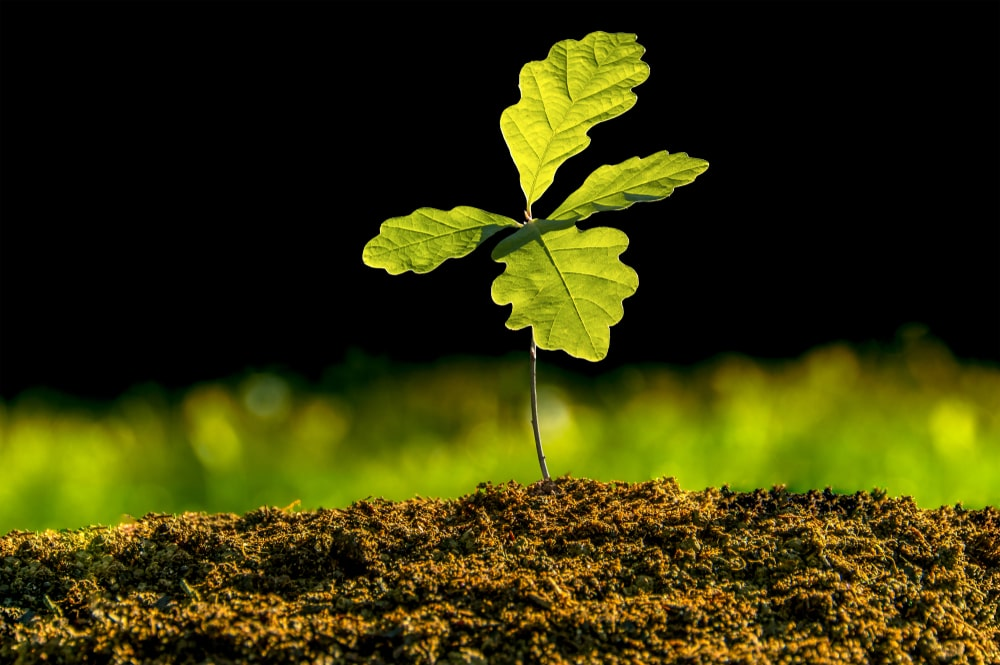 This is a close look at a seedling of a white oak tree.