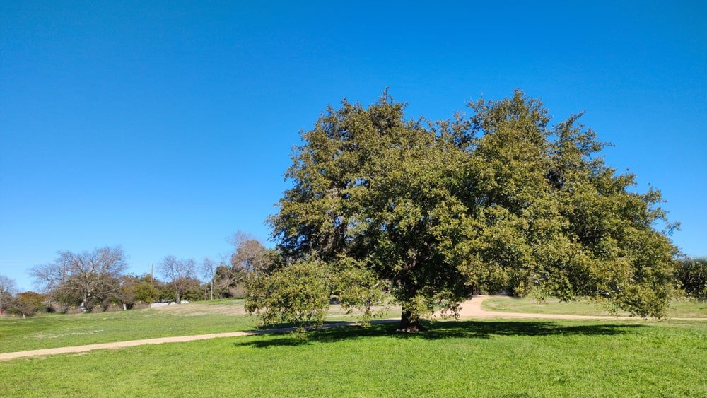 This is a large white oak tree standing in the middle of a large field.