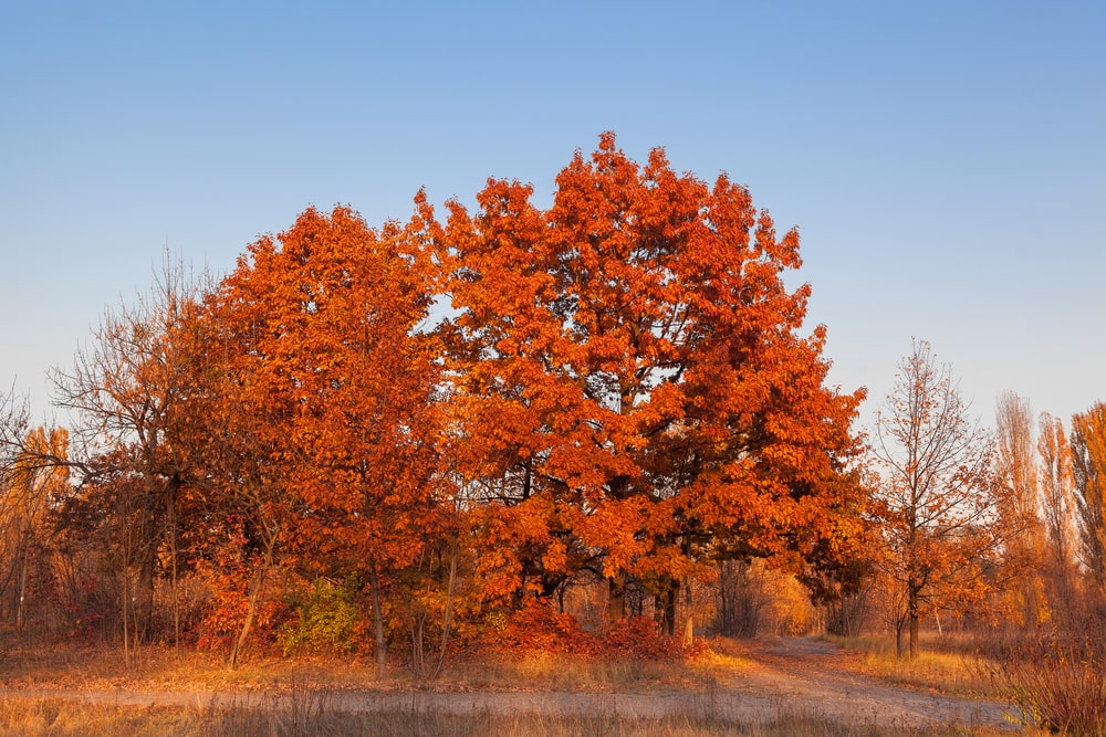This is a full view of the large mature red oak tree in the distance.