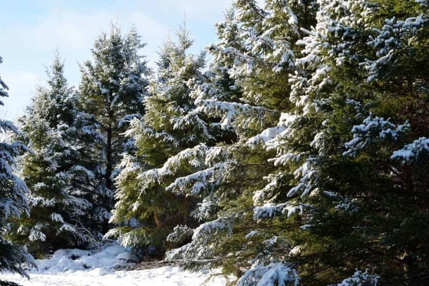 This is a close look at white spruce trees during winter.