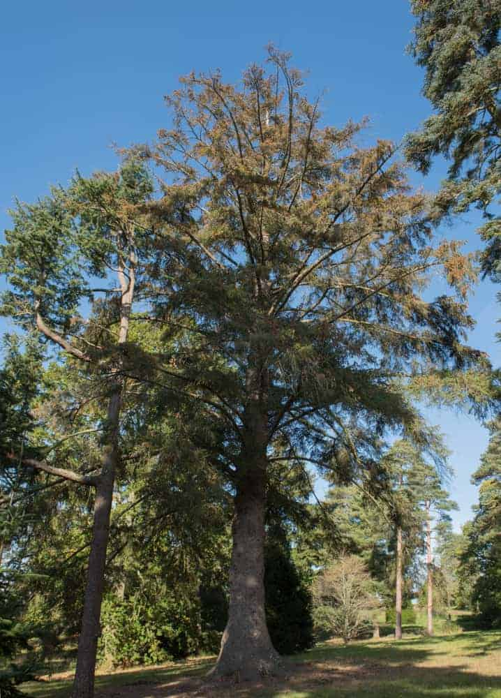 This is a single tall Sitka Spruce tree in the middle of the forest.