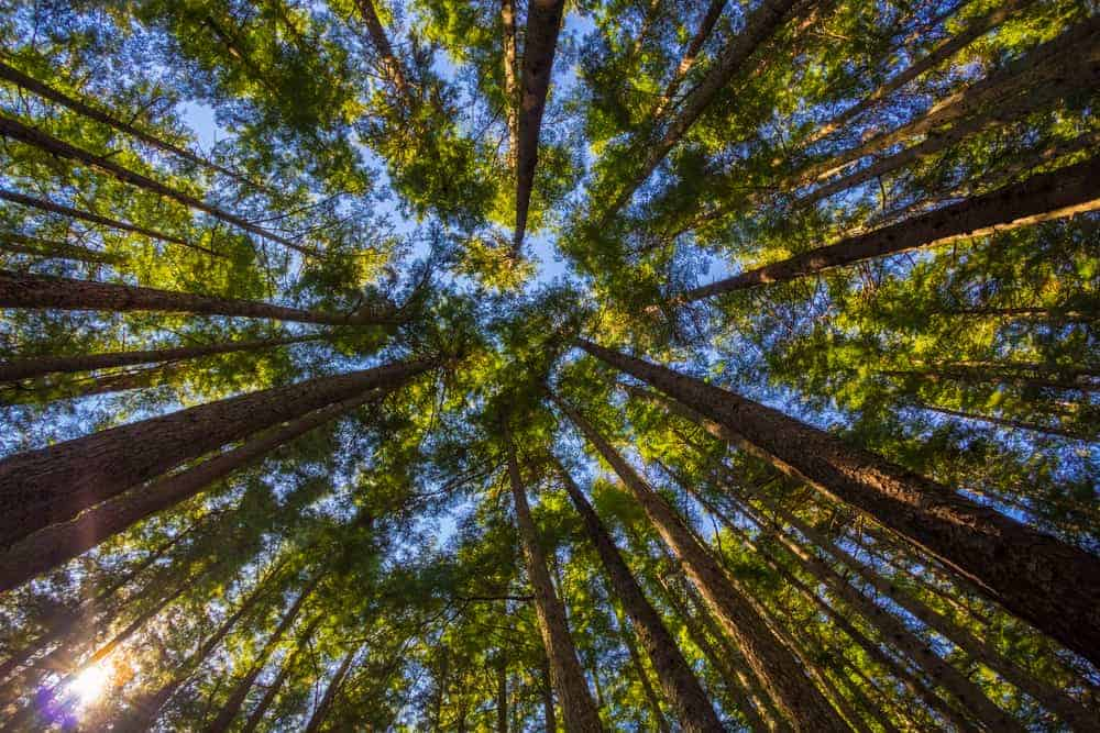 This is a look up the treetops from the vantage of the ground.