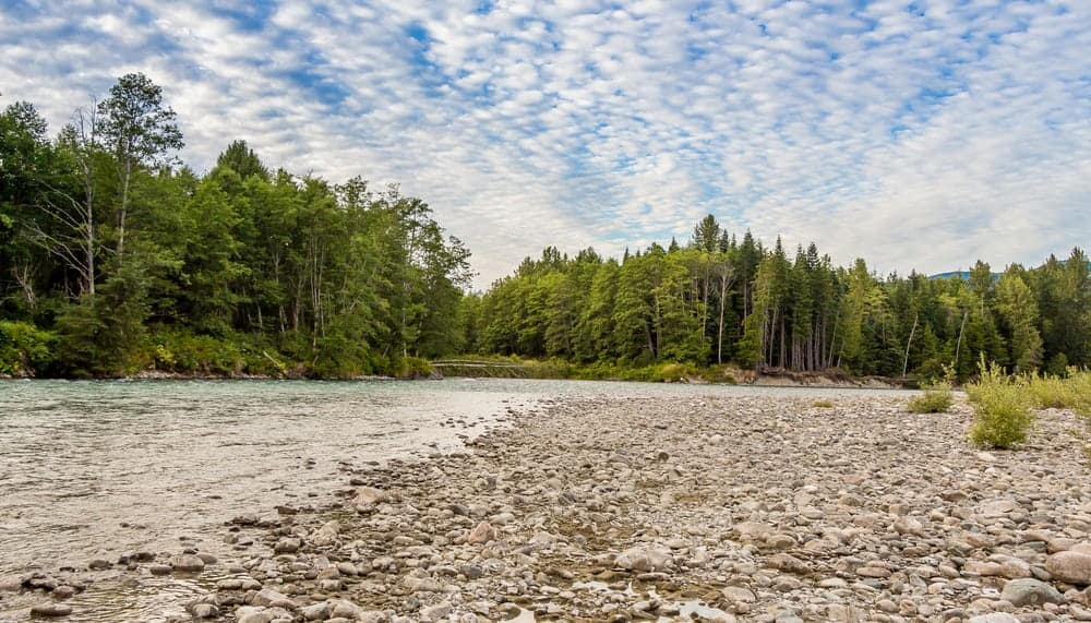This is a look at the forest of white spruce trees by the river.