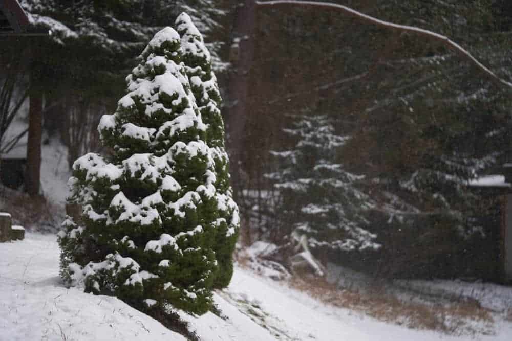 A single white spruce tree covered in snow during winter.