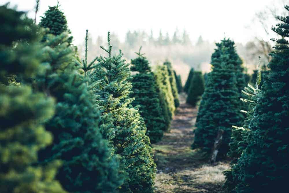 Rows of christmas trees at a christmas tree farm.