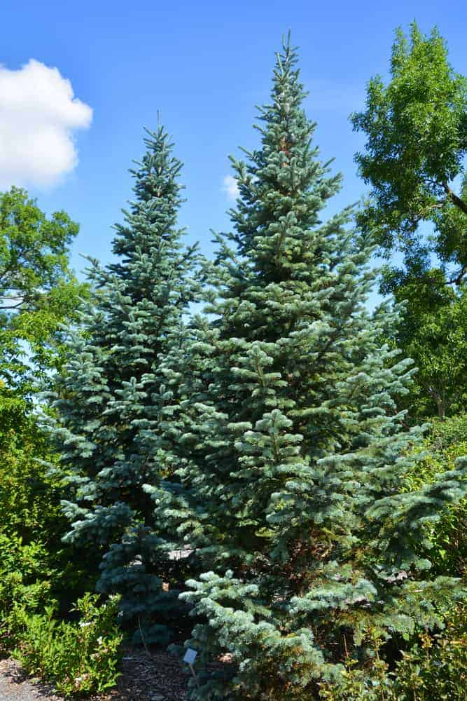 This is a close look at a couple of white spruce trees surrounded by shrubs.