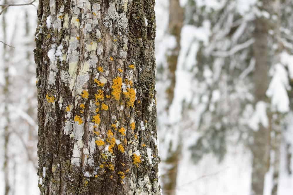 This is a close look at the bark of a white spruce tree.