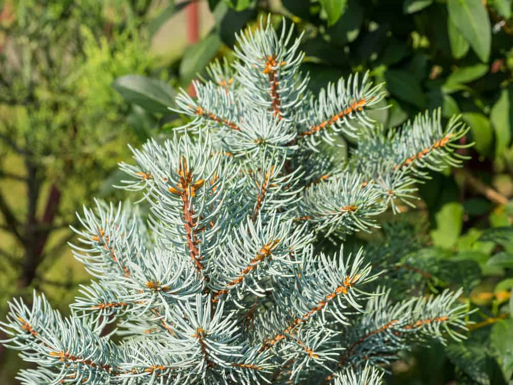 This is a close look at the foliage and leaves of a white spruce tree.