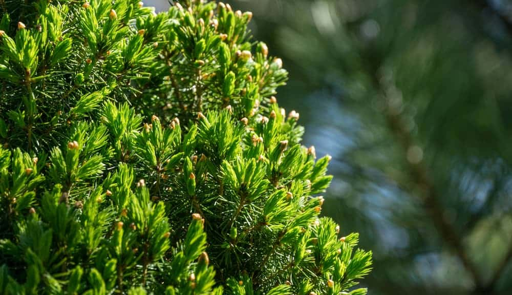 This is a close look at a mature white spruce tree with cones.
