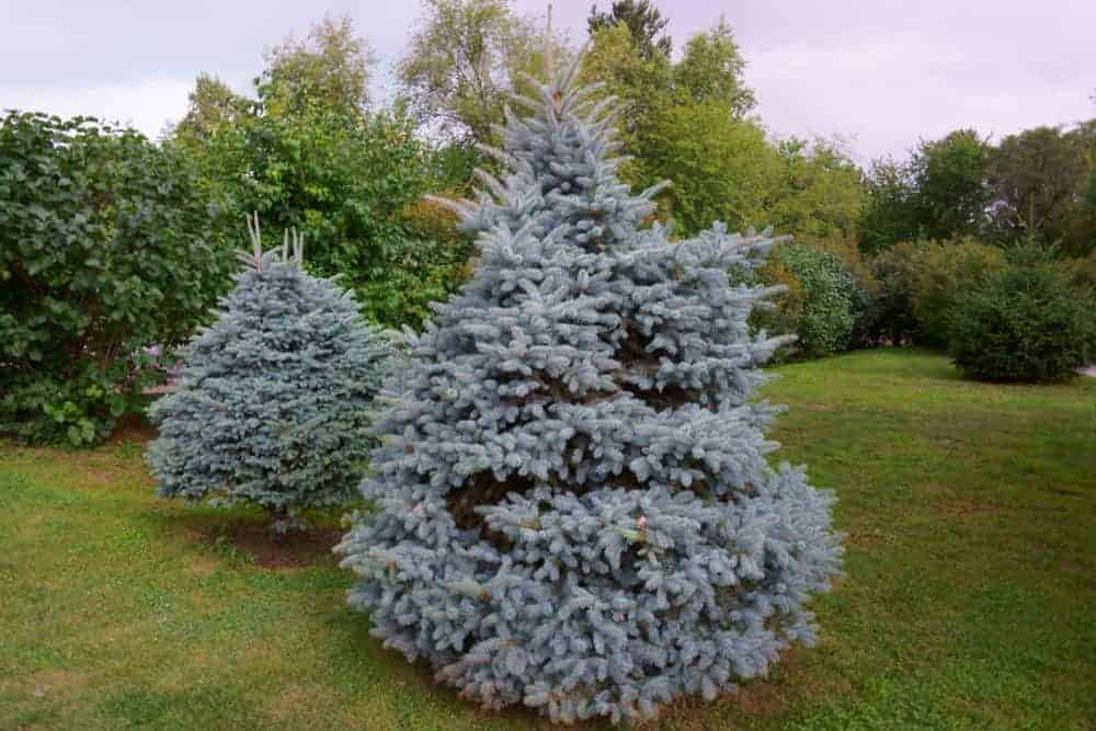 A close look at a couple of blue spruce trees in a garden.