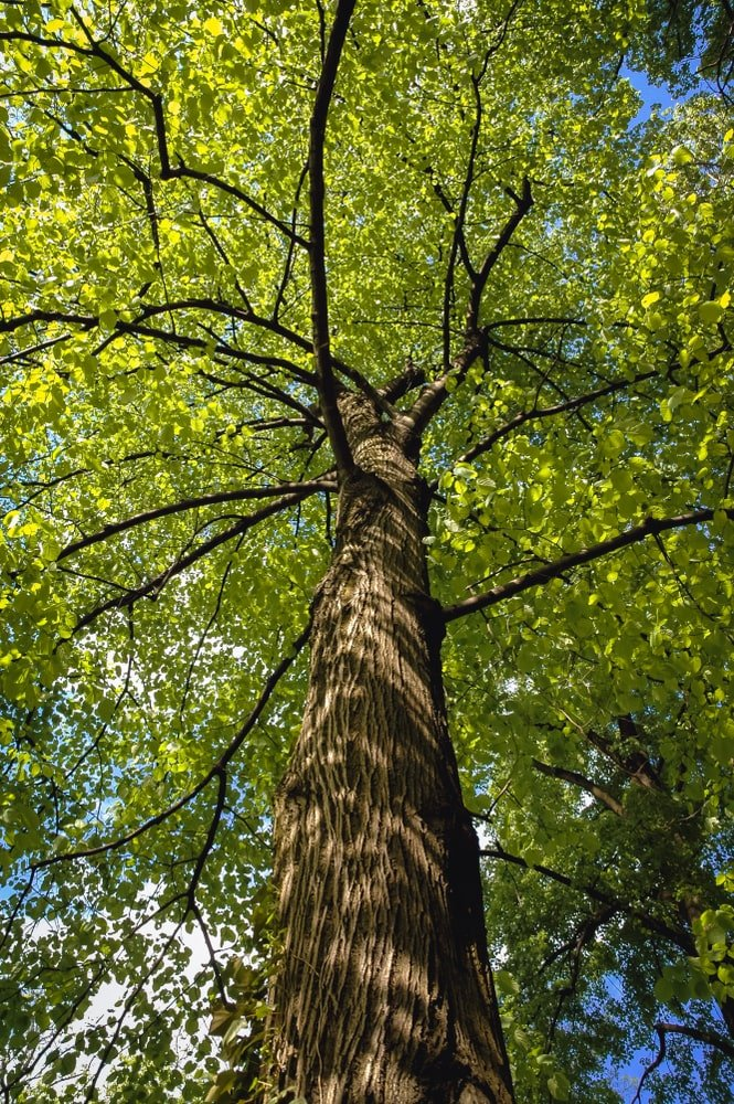 This is a close look at an American basswood tree and its growth pattern.