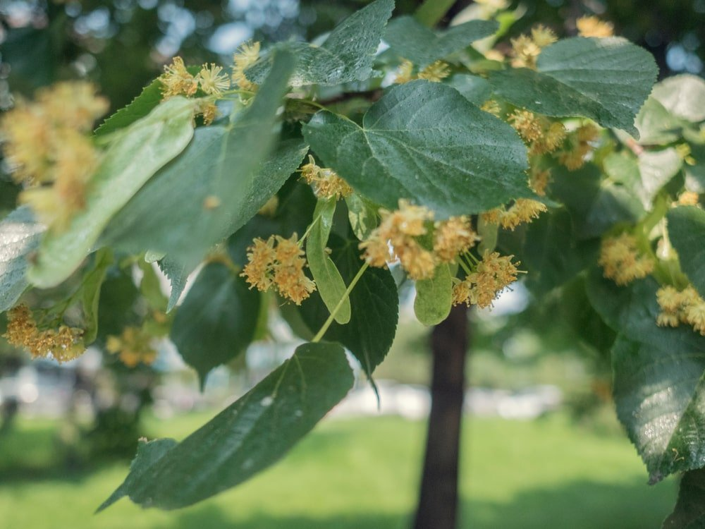 This is a close look at the clusters of flowers of an American basswood tree.