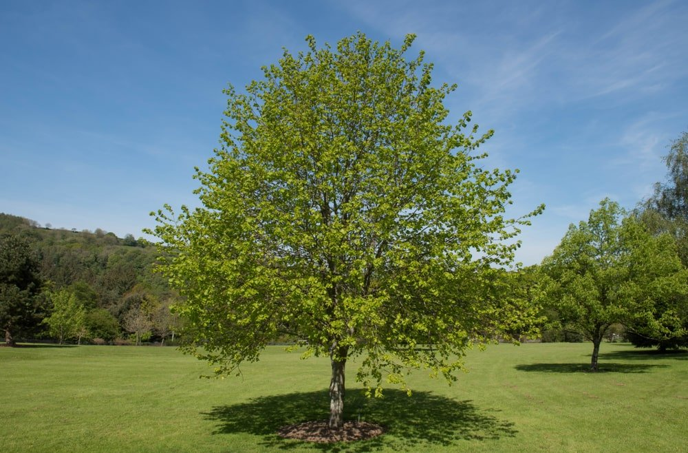 A mature Little Leaved Linden tree in the middle of the field.