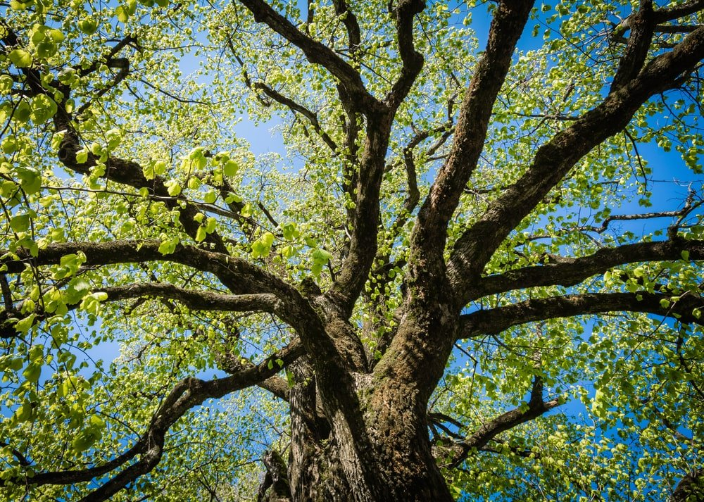 This is a close look at the branches and foliage of a Large Leaved Linden tree.