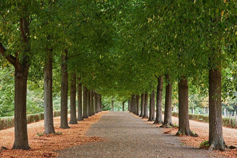 This is a close look at a park pathway lined with American basswood trees.