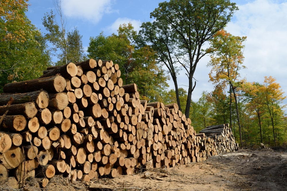 This is a close look at a bunch of American basswood tree logs.