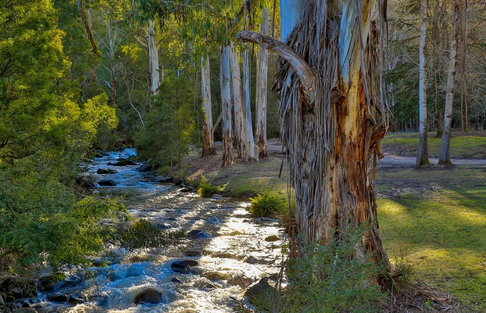 This is a close look at a mature Australian mountain ash tree by the stream.