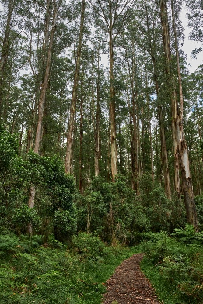 This is a look at a forest of Australian mountain ash trees from the vantage of the pathway.