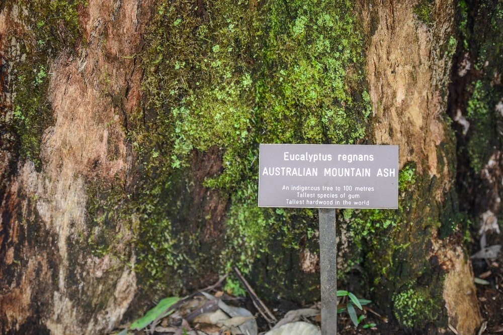 This is a close look at an Australian Mountain Ash tree and its sign board on the side.