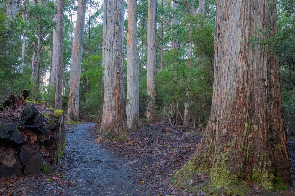 This is a close look at a forest trail with Australian mountain ash trees.