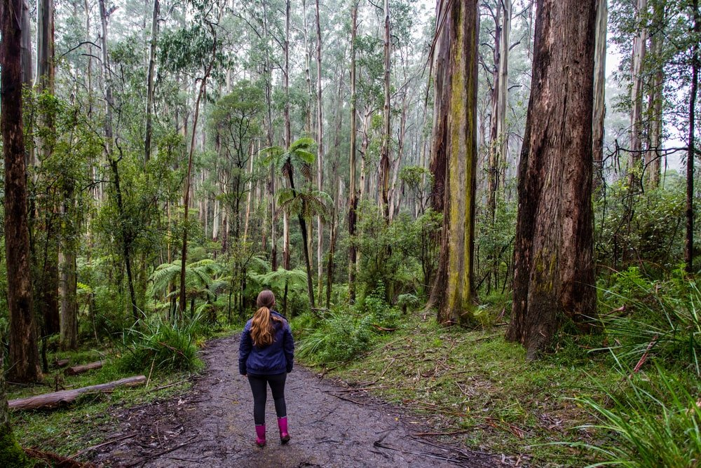 A woman hiking through a forest trail with Australian mountain ash trees.