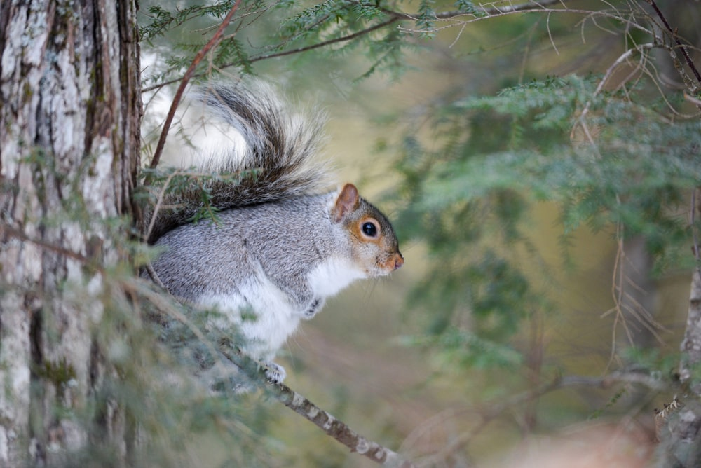 This is a close look at an Eastern gray squirrel on a hemlock tree.