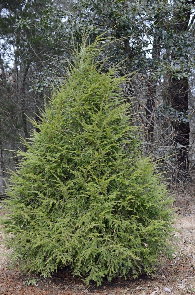This is a close look at a medium-sized Eastern Hemlock tree.