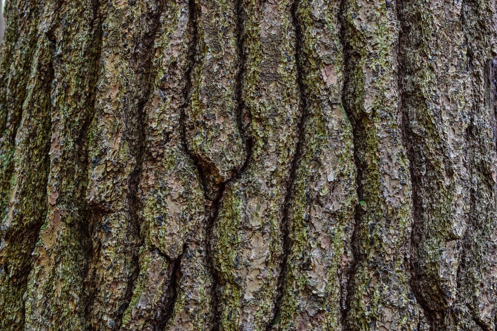 This is a close look at the bark of an Eastern Hemlock tree.
