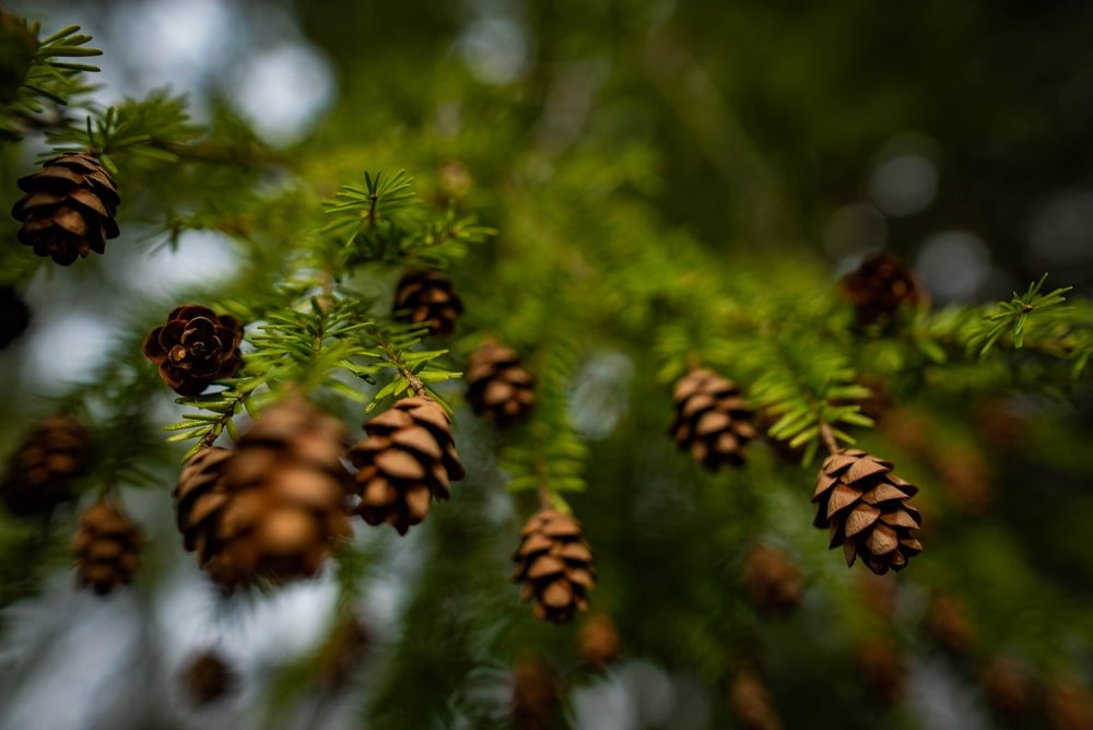 This is a close look at the seed cones and pollen cones of an Eastern Hemlock tree.
