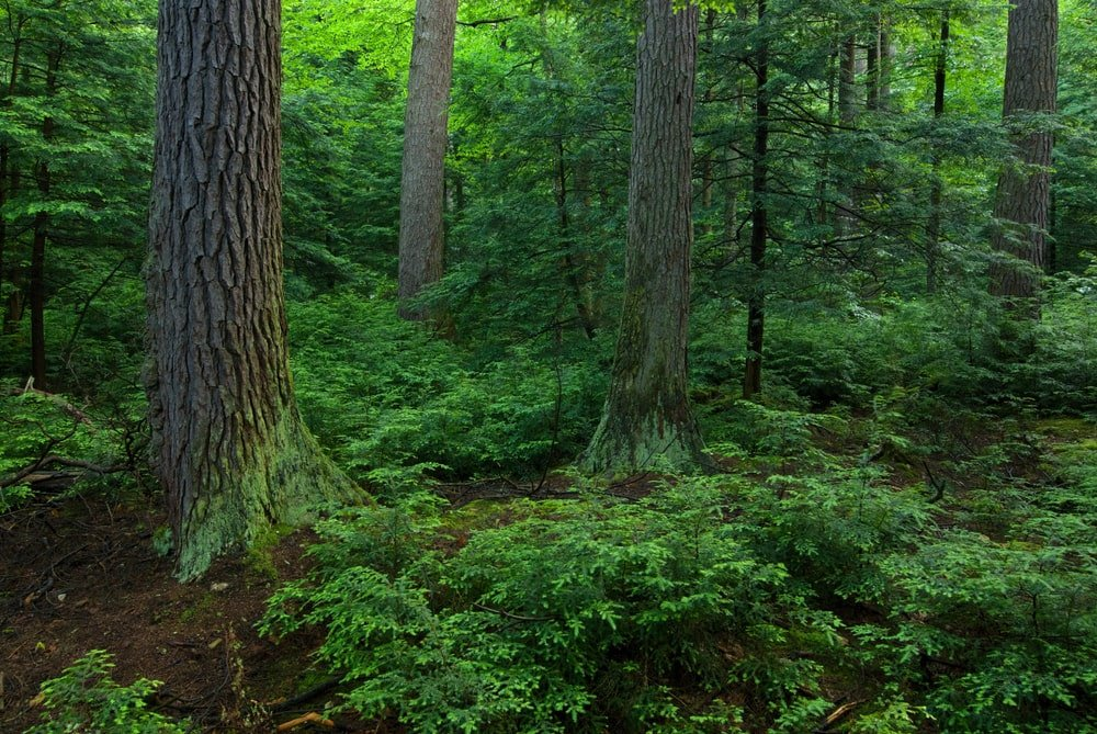 This is a close look at a park forest that has Eastern Hemlock trees.