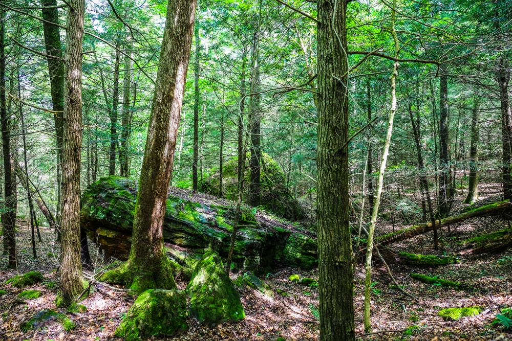 This is a close look at the dense forest of hemlock trees.
