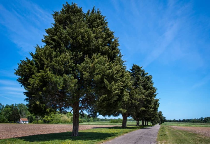 This is a view of a dirt road lined with tall mature Eastern juniper trees.