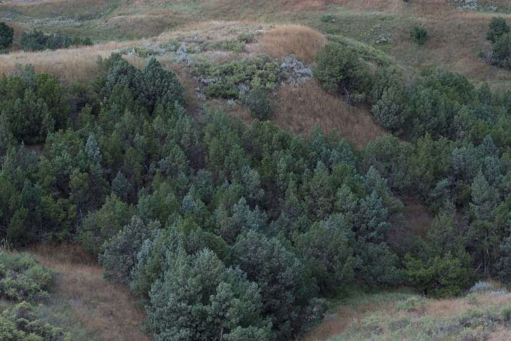 A forest of mountain juniper trees on a large hill.