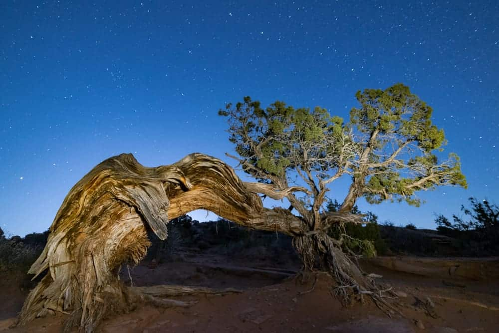 This is a look at an ancient eastern juniper tree with gnarled branches and trunk.