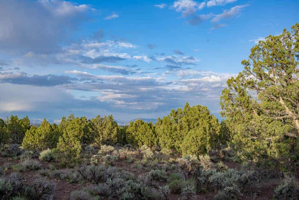 This is a look at a field surrounde dby Eastern juniper trees.