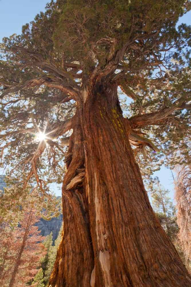 This is a close look at a tall and mature Eastern Juniper Tree.