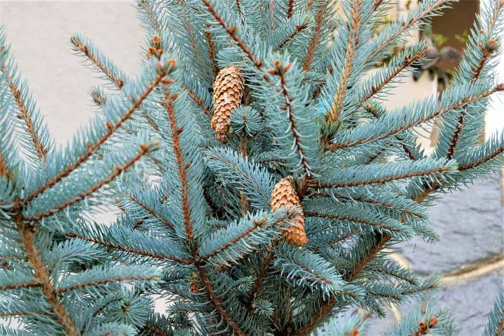 This is a close look at the leaves and branches of an eastern juniper tree.