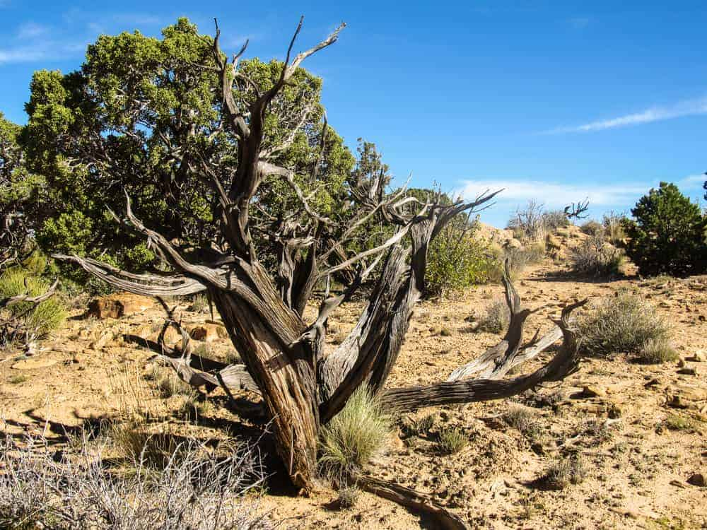 This is a close look at a dry remains of a dead eastern juniper tree.