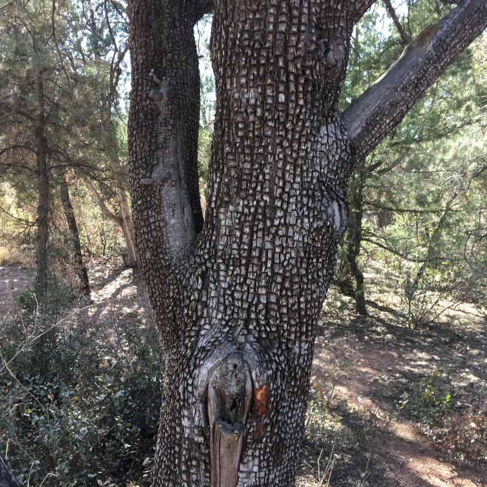 This is a close look at the textured bark of a juniper tree.