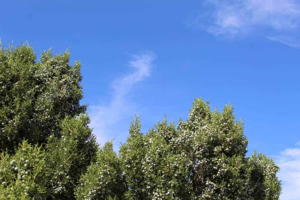 This is a close look at the treetops of eastern juniper tree.