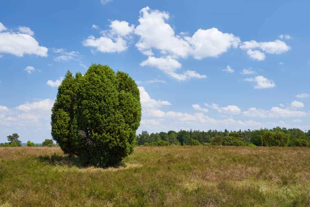 A cluster of common juniper trees in the middle of a field.