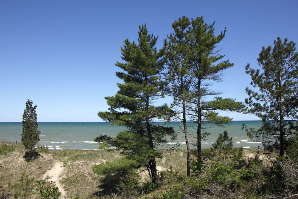 This is a view with clusters of Eastern White Pine Trees.