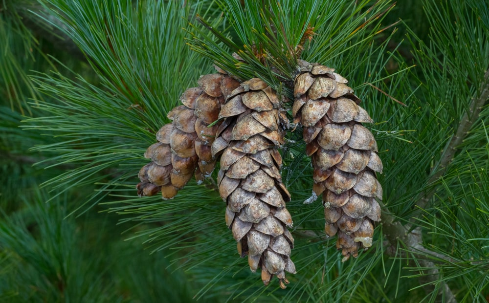This is a close look at a cluster of Eastern White pine cones.