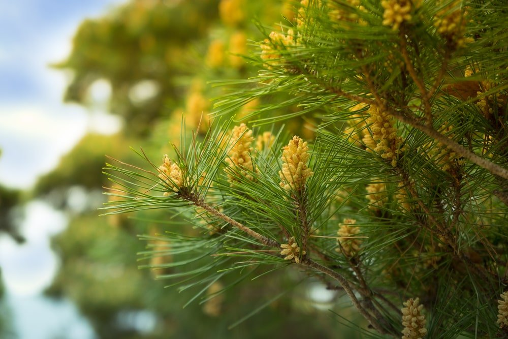 This is a close look at a flowering Eastern White Pine Tree.